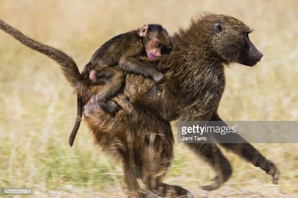 A baboon and infant eating the new morning glory blooms
