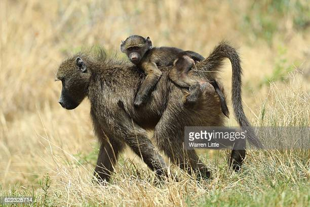 Baboon and offspring look on during day two of the Nedbank Golf Challenge at Gary Player CC on November 11 2016 in Sun City South Africa
