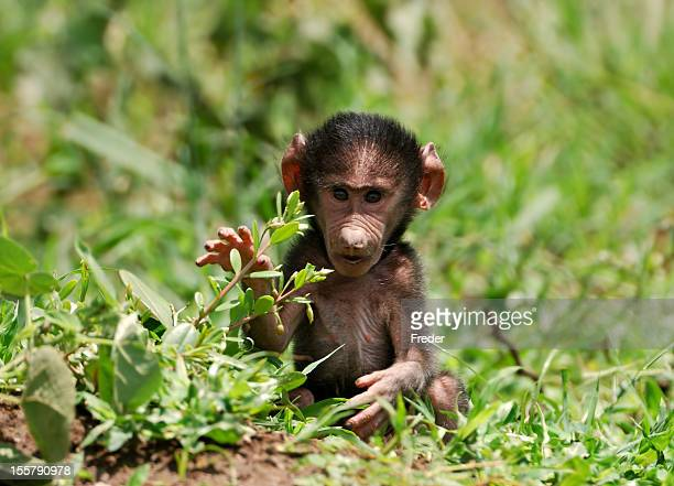 baboon baby - baboon stock photos and pictures