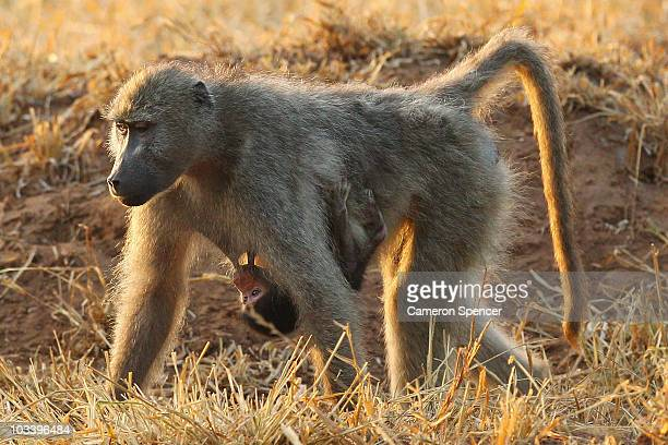 A baboon carries a baby as she walks through the Pafuri game reserve on July 23 2010 in Kruger National Park South Africa Kruger National Park is one...