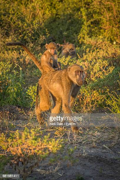 Baboon Carrying Infant On Field