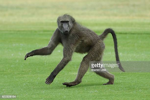 Baboon crosses a fairway during day two of the Nedbank Golf Challenge at Gary Player CC on November 11 2016 in Sun City South Africa