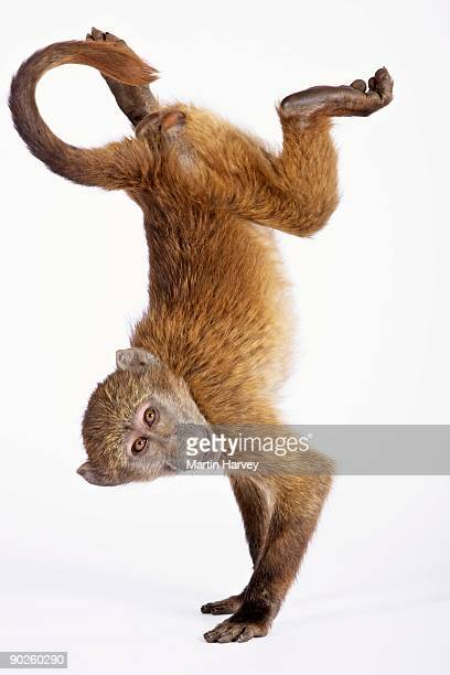 baboon doing handstand - primate stock pictures, royalty-free photos & images