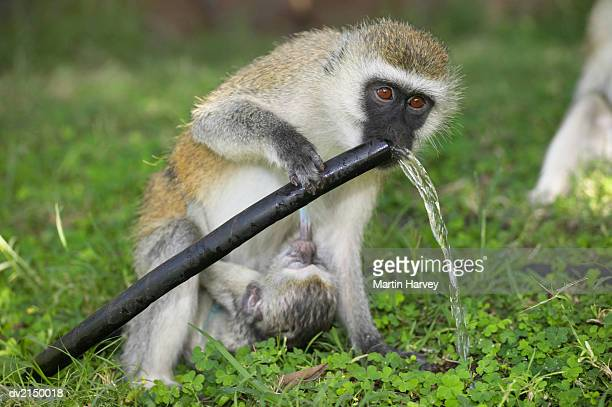 Baboon Drinking Water from a Water Hose Whilst Her baby is Suckling