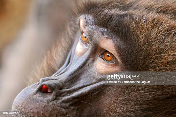 baboon eyes - baboon stock pictures, royalty-free photos & images