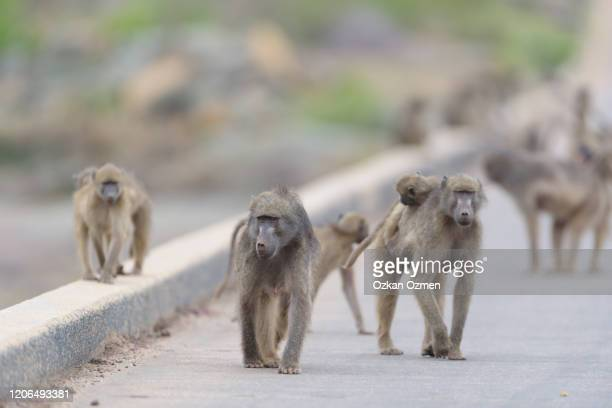 baboon family in the wilderness of africa - baboon stock pictures, royalty-free photos & images