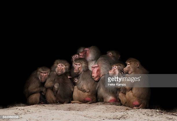 baboon family - baboon stock pictures, royalty-free photos & images