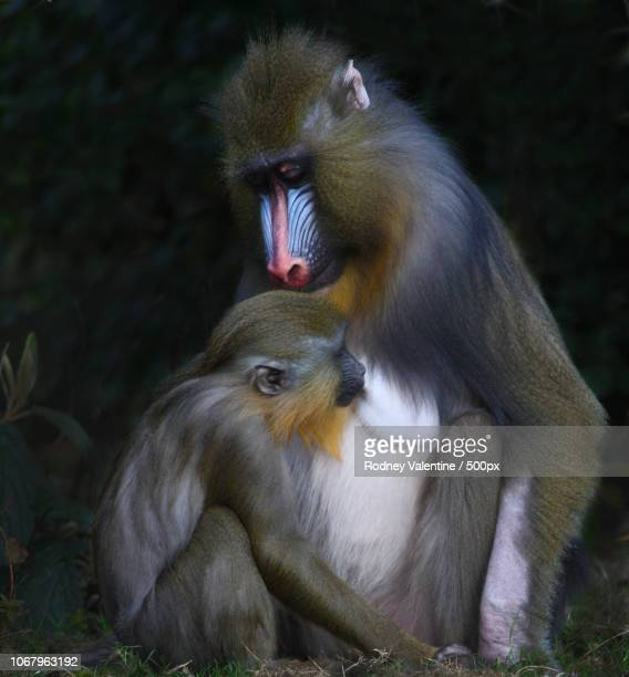 baboon family portrait - valentine monkey stock pictures, royalty-free photos & images