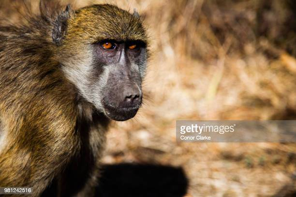 baboon glance - conor stock pictures, royalty-free photos & images