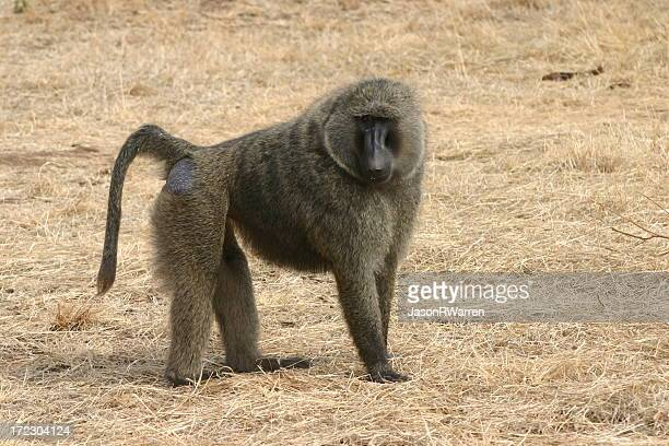 baboon iii - baboon stock photos and pictures