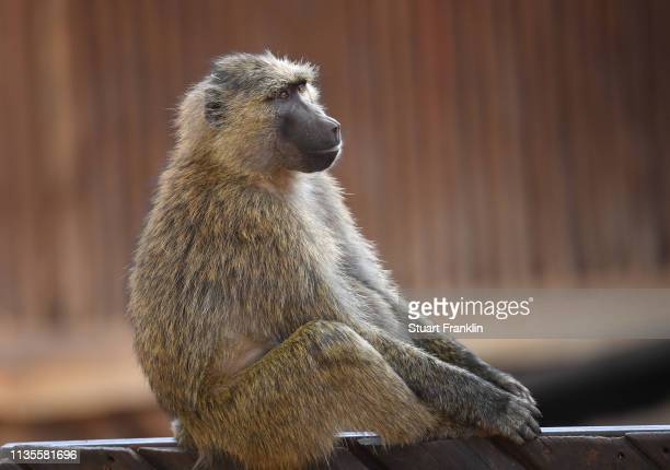 Baboon is seen prior to the start of the Magical Kenya Open presented by Absa at the Karen Golf Club on March 13, 2019 in Nairobi, Kenya.