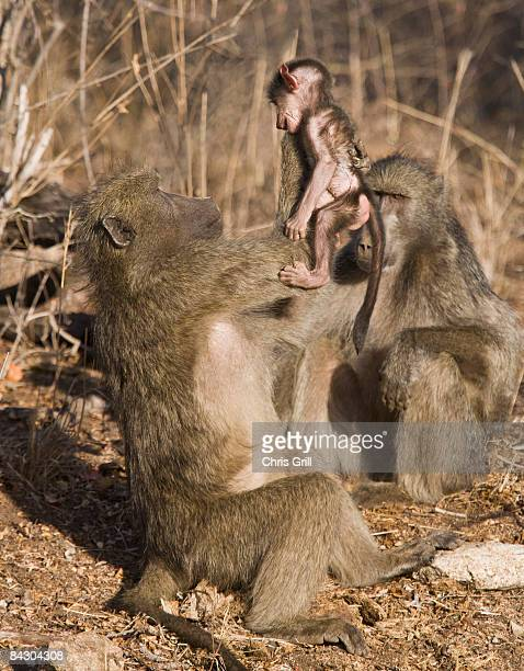 Baboon lifting baby in air