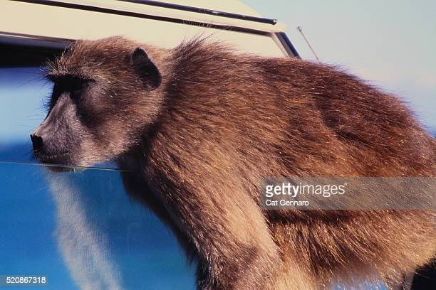 baboon looking through car window - chacma baboon stock photos and pictures