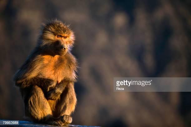A baboon looks at the sunset on January 2002 in Jizan Saudi Arabia