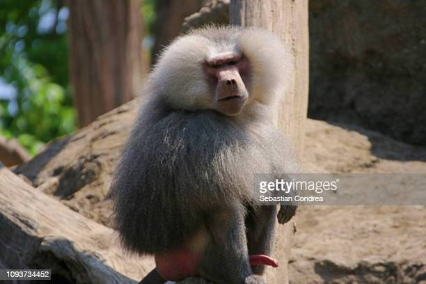 baboon male,wildlife animal, malaysia - animal erections stock pictures, royalty-free photos & images