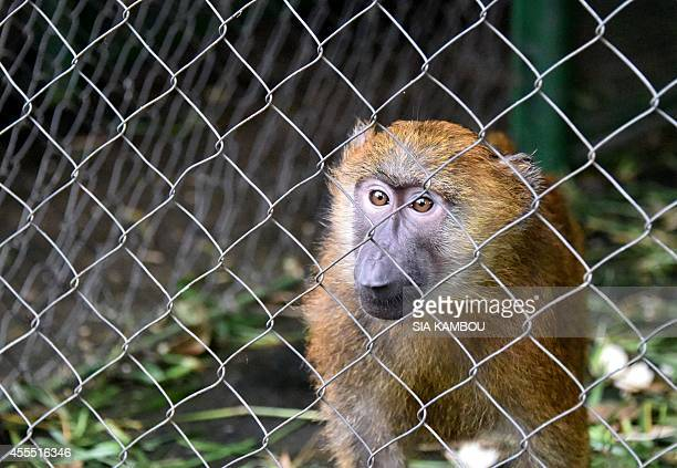 A baboon named Charlotte is seen in a cage painted in green in the quarantine ward of the zoo in Abidjan on September 9 2014 Many people are...
