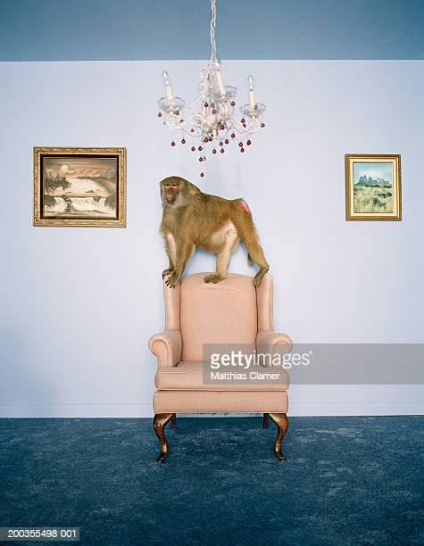 Baboon on armchair in living room