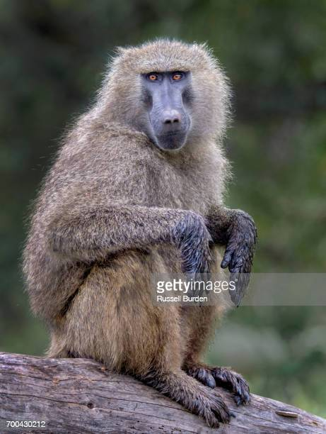 Baboon on branch