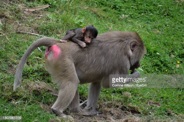 baboon on grass - hamilton new zealand stock pictures, royalty-free photos & images