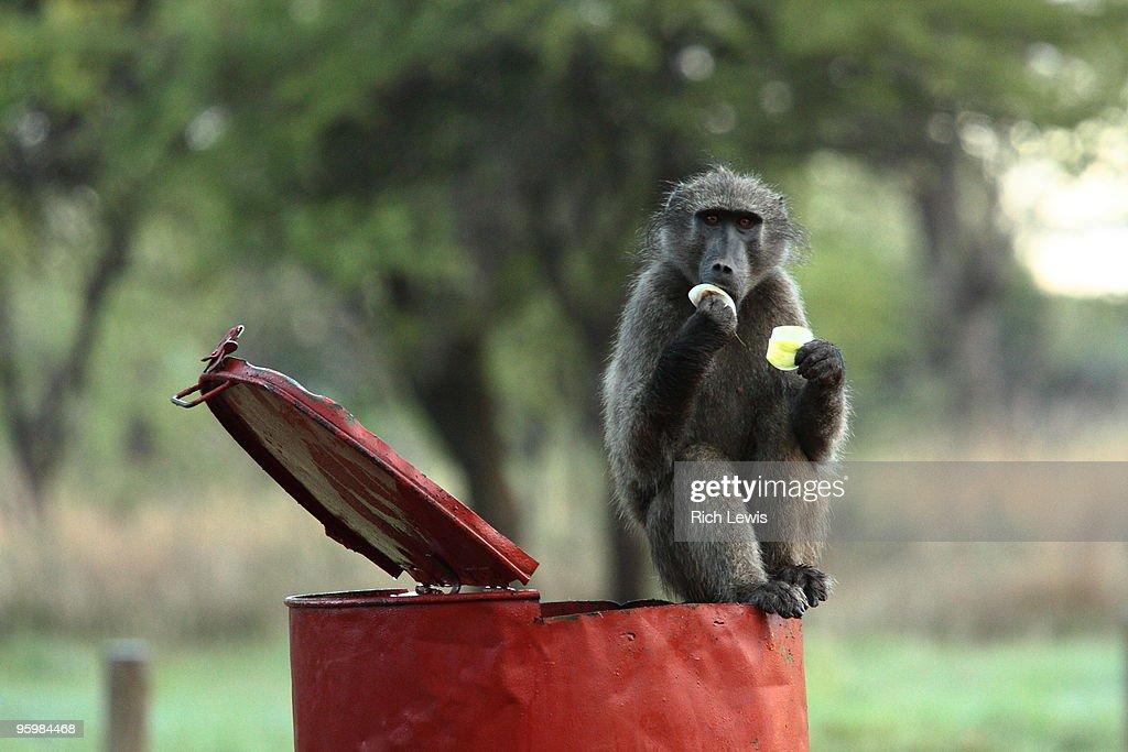 Baboon on Litter Bin Eating Fruit : Stock-Foto