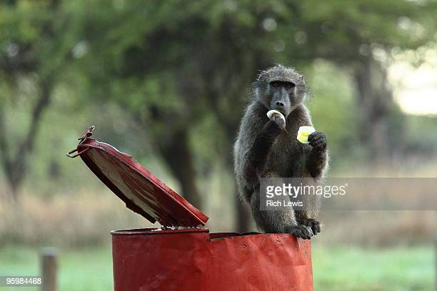 baboon on litter bin eating fruit - baboon stock pictures, royalty-free photos & images