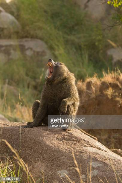 baboon (papio cynocephalus ursinus) on rock, serengeti national park, robanda, tanzania, africa - chacma baboon stock photos and pictures