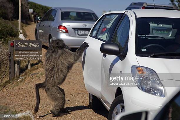 A baboon opens the door of a car while he is searching for food to steel on the road from Simon's town to the Cape Of Good Hope on April 1 2010...