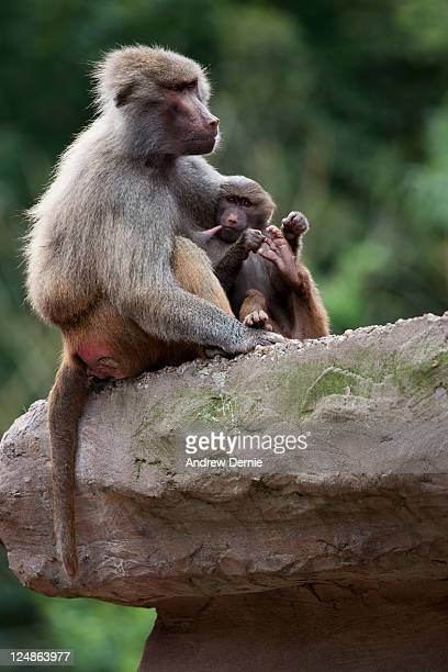 baboon - andrew dernie - fotografias e filmes do acervo