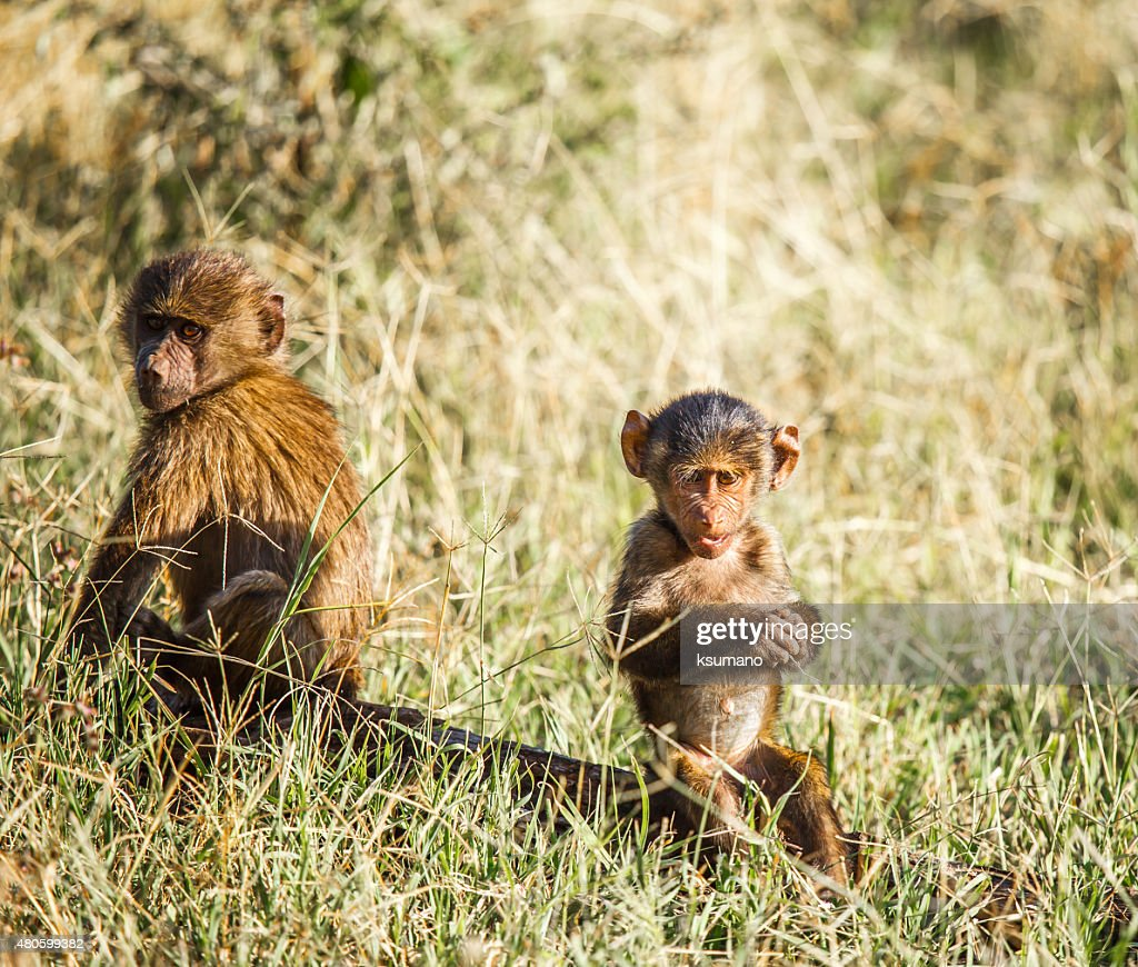 Baboon : Stock Photo