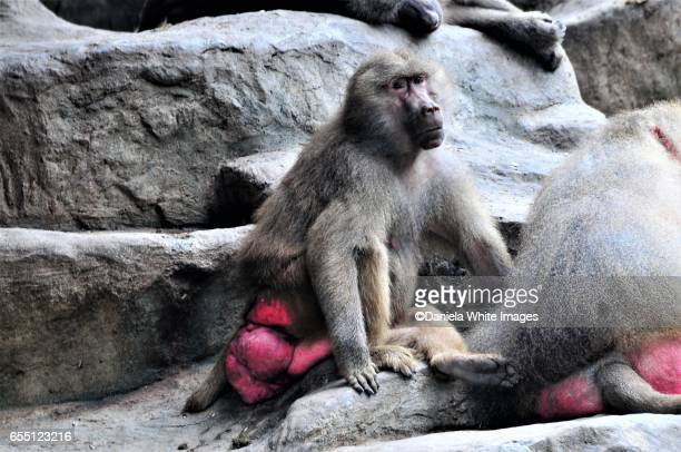 baboon - chacma baboon stock photos and pictures