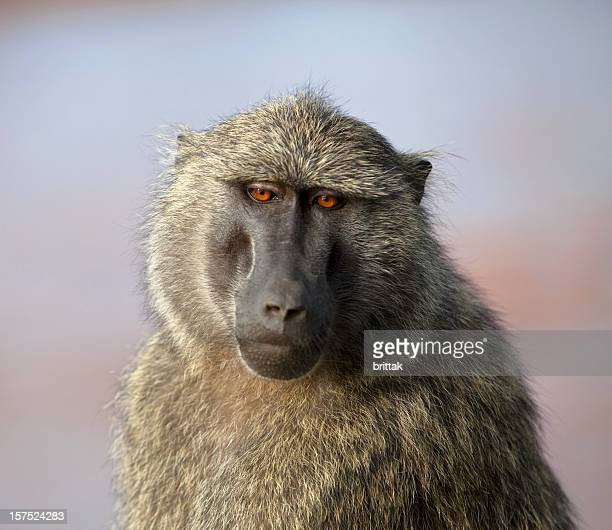 baboon portrait against african sunrise, - ugly monkey stock photos and pictures