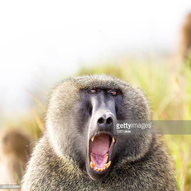baboon showing teeth - baboon stock photos and pictures