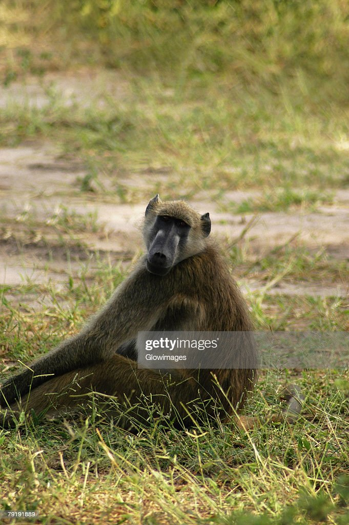 Baboon sitting in a forest, Chobe National Park, Botswana : Foto de stock