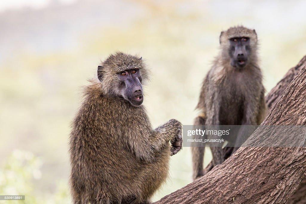 Papión-Parque nacional de Tarangire-Reserva de vida silvestre en Tanzania : Foto de stock