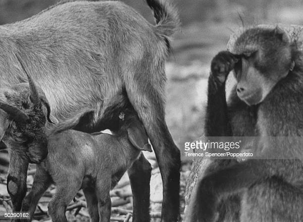 A baboon tending a goat herd wearily resting from his duties