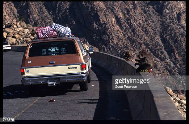 A baboon waits for food from passing motorists August 15 1997 in Saudi Arabia Near the Red Sea the Taif Mountains are a popular destination for...