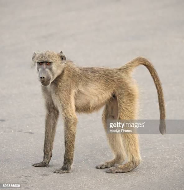 baboon youth - chacma baboon stock photos and pictures