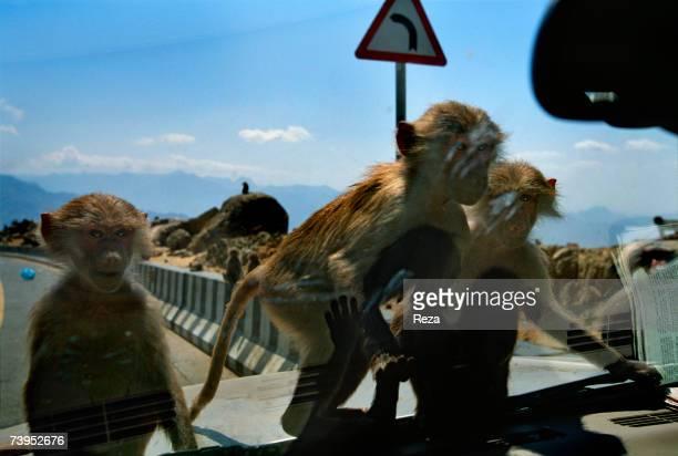 Baboons climbed on the hood of a car and look inside on January 2002 in Jizan Saudi Arabia