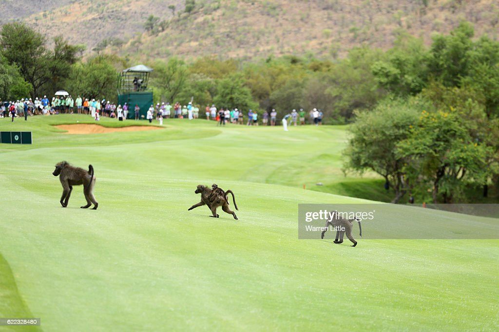 Baboons cross a fairway during day two of the Nedbank Golf Challenge at Gary Player CC on November 11, 2016 in Sun City, South Africa.