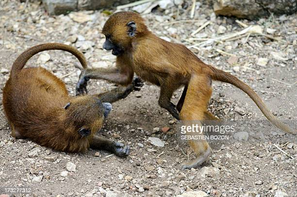 Baboons from Guinea are pictured at the zoo of Besançon on July 11 2013 All baboons will be placed in other zoos because they damage stone walls of...