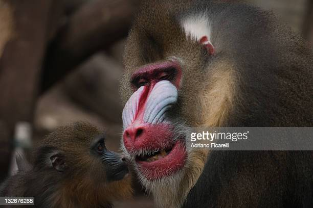 baboons - adriano ficarelli stock pictures, royalty-free photos & images
