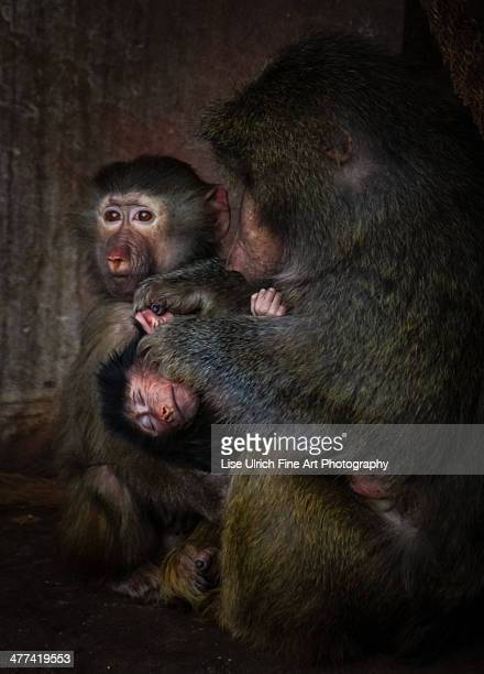 baboons - lise ulrich stock pictures, royalty-free photos & images