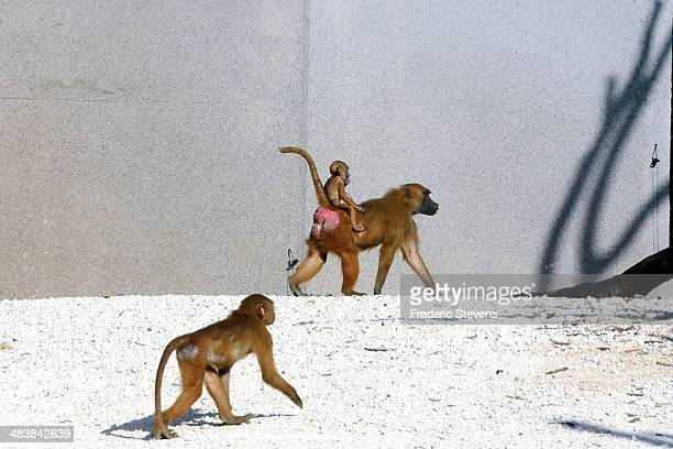 Baboons walk around in their enclosure at the Zoological Park of Paris on April 10 2014 in Paris France The zoo will reopen to the public on April 12...