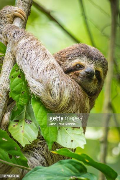 baby 3-toed sloth - three toed sloth stock photos and pictures