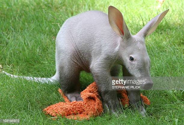 A baby aardvark stands on a blanket on July 30 2010 at the zoo in Berlin The animal born in May 2010 at the zoo was injured by its mother so that it...