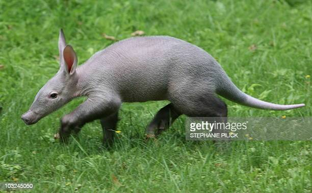 Baby aardvark walks through its enclosure on July 30, 2010 at the zoo in Berlin. The animal born in May 2010 at the zoo was injured by its mother, so...