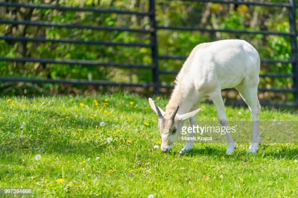 Baby addax feeding. Baby addax on green grass