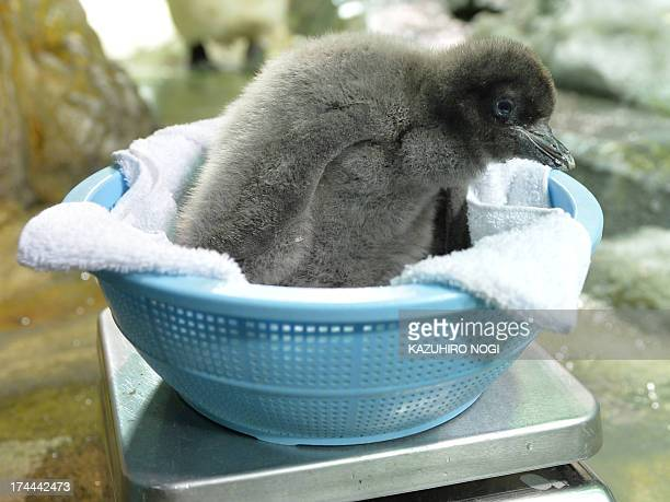 A baby Adelie penguin who was born on July 10 is weighed at the Osaka Aquarium Kaiyukan on July 26 2013 Visitors can see the 680 grams baby penguin...