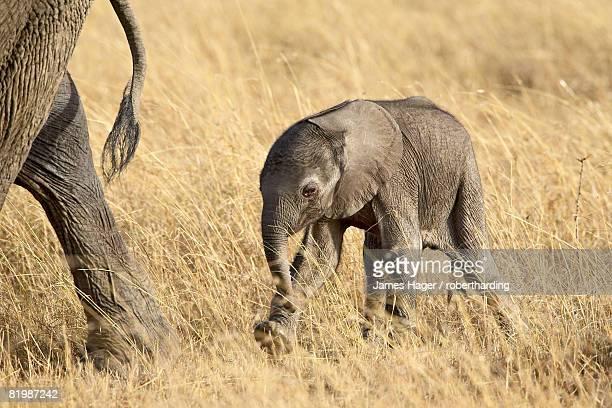 Baby African elephant (Loxodonta africana), two days old, Masai Mara National Reserve, Kenya, East Africa, Africa