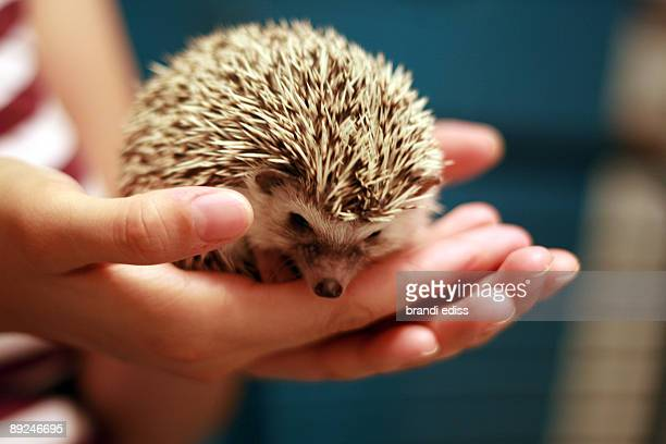 baby african pygmy hedgehog in palm of hand
